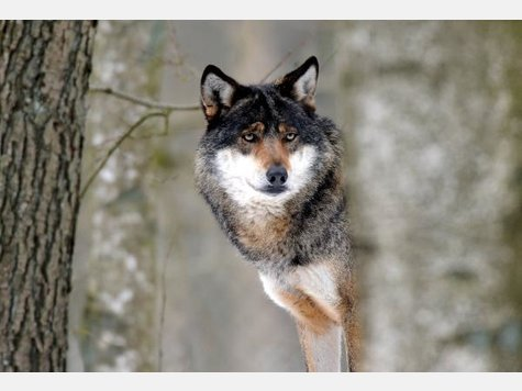 Wolf - Page 3 1011213239-wolf.9